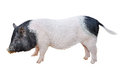 Pig Isolated Stock Photos - 93126493