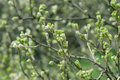 Blossoming Buds On Bush Branches Stock Images - 93146194