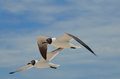 Amazing Black And White Laughing Gulls In Flight Royalty Free Stock Images - 93159929