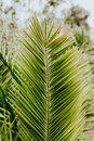 Palm Tree Leaf Royalty Free Stock Images - 93170749