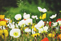 White, Yellow And Red Flowers Poppie. Stock Image - 93179241