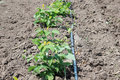 Drip Irrigation Stems Of Raspberry With Water-hose Stock Photos - 93179903