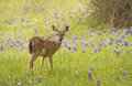 Deer In The Bluebonnets Stock Image - 93246741