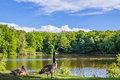 Geese On A Lake In The Forest In Summer Stock Image - 93263991