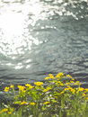 Yellow Wild Flowers By The River With Sun Rays. Stock Image - 93293451
