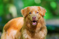 Nova Scotia Duck Tolling Retriever In The Forest Stock Image - 93304391