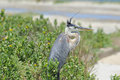 Great Blue Heron Royalty Free Stock Image - 93310356