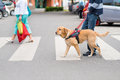 Guide Dog Is Helping A Blind Man Stock Images - 93326494