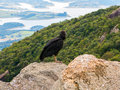 Black Vulture Coragyps Atratus On Rock Royalty Free Stock Images - 93379809