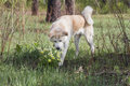 A Lovely Beautiful Japanese Akita Inu Sniffs Flowers Of Yellow Snowdrops In The Forest In Spring Among Grass And Trees. Royalty Free Stock Images - 93412589