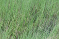 Vetiver Grass In Thailand Royalty Free Stock Photos - 93467428