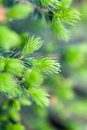 Spruce Buds Royalty Free Stock Photography - 93500517