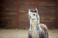 The South American Pack-animal Of The Family. Camels With Valuable Wool Royalty Free Stock Photography - 93509007