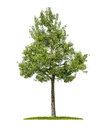 An Isolated Pear Tree Royalty Free Stock Image - 93538926