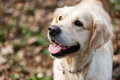 Photo Of Happy Labrador Close-up Royalty Free Stock Image - 93542076
