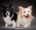 Border Collies Royalty Free Stock Images - 93548149