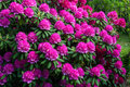 Rhododendrons Royalty Free Stock Photo - 93583085
