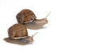 Two Large Garden Snails Royalty Free Stock Image - 93627686