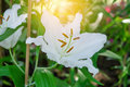Lilies Flowers Bouquet In The Garden. Royalty Free Stock Image - 93662326