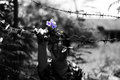 Woman Holding Barb Wire And Flower In Hand. Abuse Concept Stock Photo - 93716260