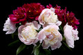 Peonies Isolated On Black Stock Images - 93732374