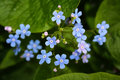 Meadow Plant Background: Blue Little Flowers - Forget-me-not Close Up And Green Grass. Royalty Free Stock Photo - 93760215