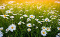 Chamomile Field Flowers. Spring Daisy On Meadow. Stock Photo - 93764360