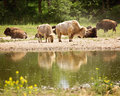 Bison Reflected In Water Stock Images - 93775904
