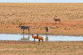 Red Hartebeest And Eland Royalty Free Stock Images - 93777569