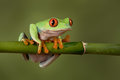 Red Eyed Tree Frog Stock Photography - 93779512