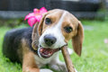 Cute Puppy Breed Beagle Dog On A Natural Green Background. Tropical Island Bali, Indonesia. Stock Image - 93792981