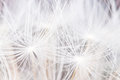 Dandelion Seeds Abstract Background Royalty Free Stock Image - 93795756