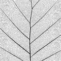 Botanical Series Elegant Detailed Single Leaf Structure In Sketch Style Black And White On White Background Royalty Free Stock Photo - 93819945