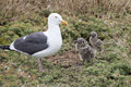 Seagull Chicks With Mom Anacapa Island California Stock Images - 93820644