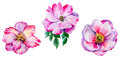 Wildflower Tea Rose Flower In A Watercolor Style Isolated. Royalty Free Stock Images - 93823359