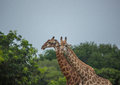 Giraffes At The Grasslands On The Area Of The Ezulwini Game Lodge Stock Image - 93826561