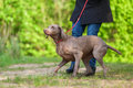 Woman With A Weimaraner Dog At The Leash Stock Photo - 93846220
