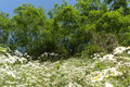 White Flowers And Trees Royalty Free Stock Images - 93899369