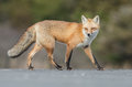 Red Fox Stock Photography - 93911162