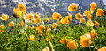 Wild Yellow Poppy Flowers Facing The Sunlight In Alpine Valley, Poppy Flowers Prosper In Warm, Dry Climates, But Withstand Frost. Stock Images - 93965924