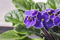 Flowering Saintpaulias, Commonly Known As African Violet. Mini Potted Plant. Stock Images - 93971444