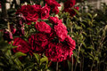 Wild Red Roses Royalty Free Stock Photo - 93972265