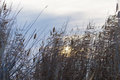 Reed On Background Sun Dawn Royalty Free Stock Image - 94000996
