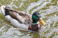 Mallard Duck Close Up In The Water Stock Image - 94039811