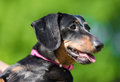 Dachshund Dog In The Park Stock Photo - 94062020
