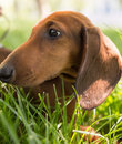 A Portrait Of A Thoroughbred Dog In Nature Stock Images - 94070414