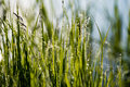 Spring First Fresh Green Grass In The Sunshine With A Drop Of De Royalty Free Stock Image - 94084246