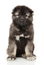 Caucasian Shepherd Puppy On White Stock Images - 94121764