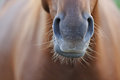 Horse`s Nose Stock Image - 94172821