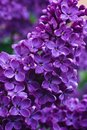 Syringa Lilac In Moscow Royalty Free Stock Photo - 94177195